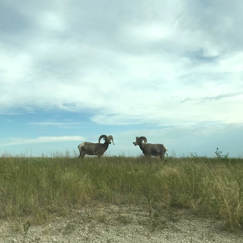 Two Bighorn Rams at the South Dakota Badlands.