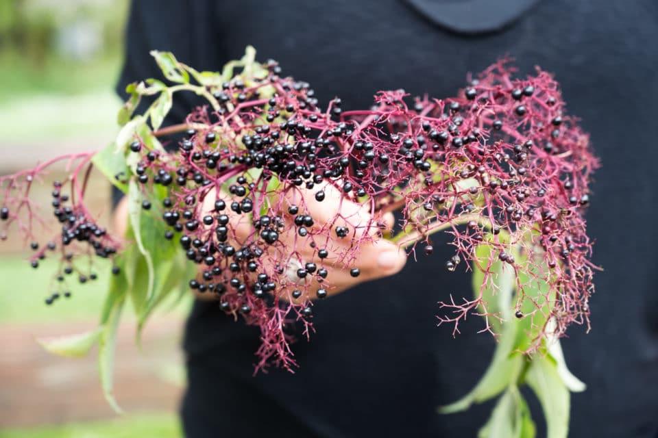 A woman holds a stem full of elderberries.